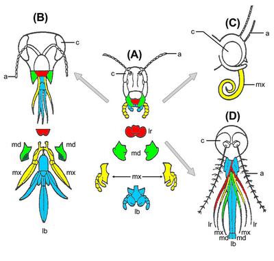 Grasshopper Labrum