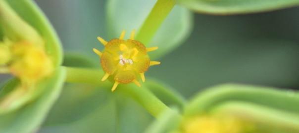 Euphorbiaceae-Euphorbia-exigua-subsp-exigua-3-01-632x435