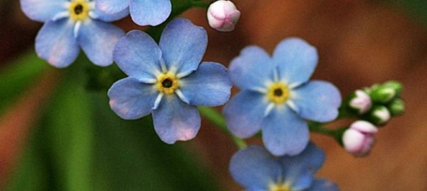 Boraginaceae-Myosotis-lamottiana-2-002-632x566