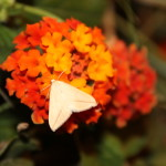 Rhodometra sacraria, una mariposa nocturna