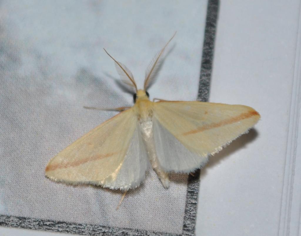 Rodometra sacraria macho de un muestreo en el Alamillo