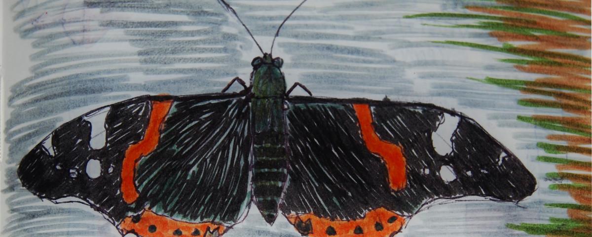 Dibujo en cuaderno de campo de Vanessa atalanta