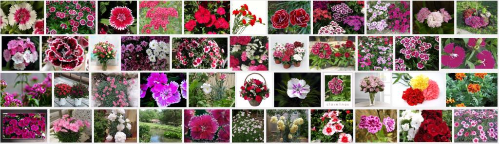 Vista en google imágenes de Dianthus caryophyllus