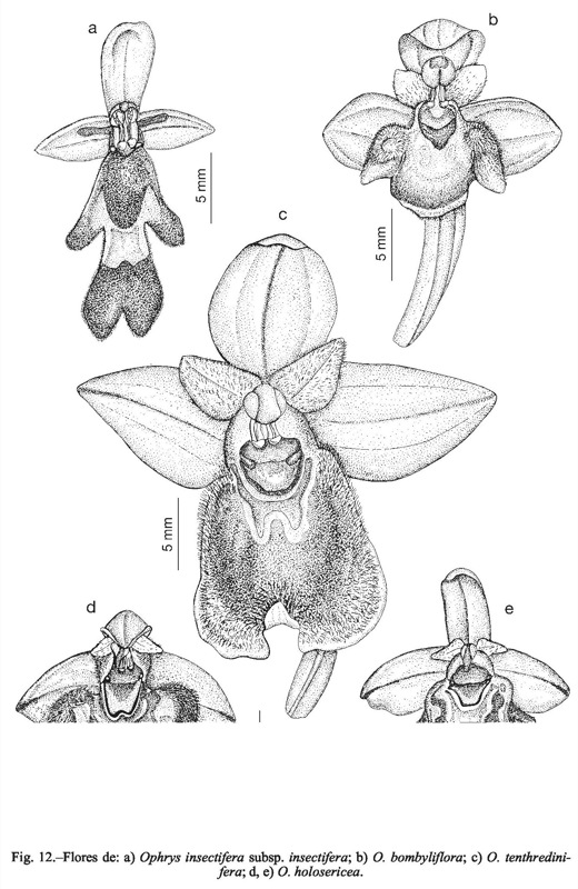 Ophrys tenthredinifera, Castroviejo & al. (eds.), Flora iberica (Real Jardín Botánico). http://www.rjb.csic.es/floraiberica/ http://www.anthos.es