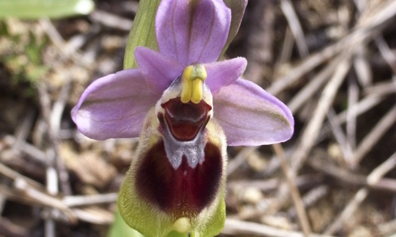 Ophrys tenthredinifera, foto por Antonio Carmona