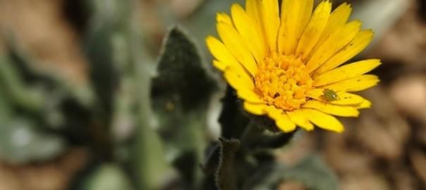 Asteraceae: Calendula Arvensis