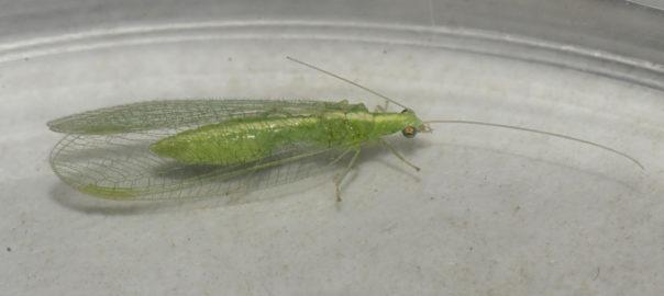 Crisopas - Ejemplar encontrado en los muestreos de mariposas y fauna nocturna
