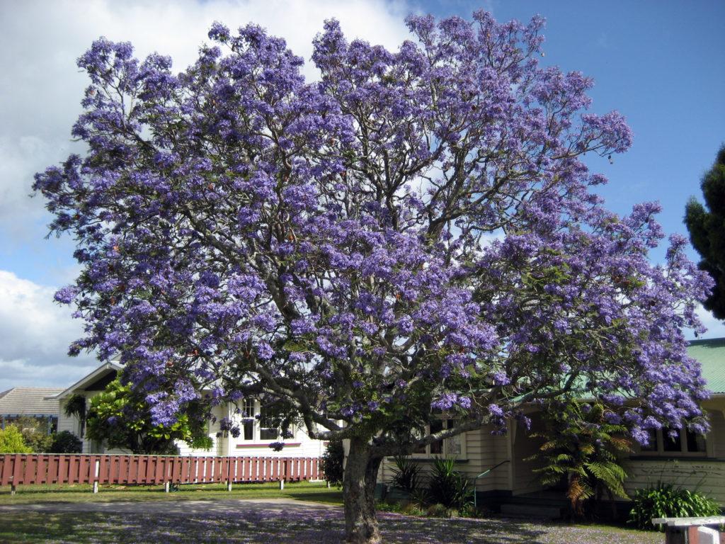 La jacaranda con sus flores azul-violeta características.
