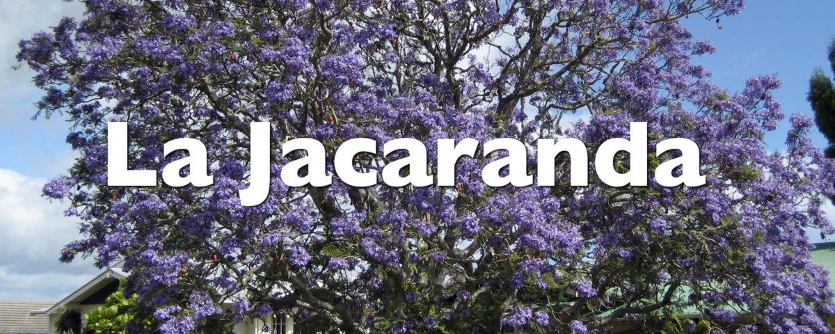 La jacaranda, ese árbol de flores violetas