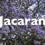 Reconoce a la jacaranda, típico árbol de Sevilla