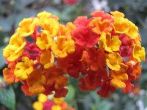 Lantana camara, variedad rojo-amarilla por Gerardo Noriega (Bandera española)