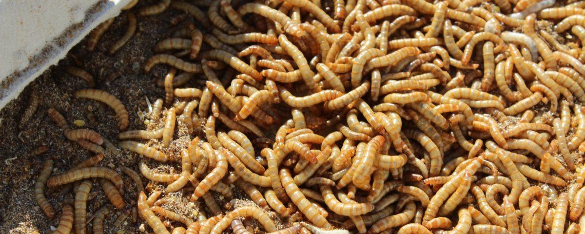 Alimento vivo en bichos para bichos - Tenebrios