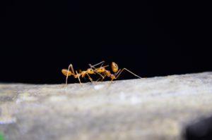 hormigas bioscripts