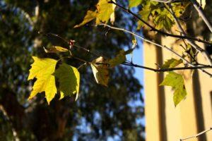 platanero hojas