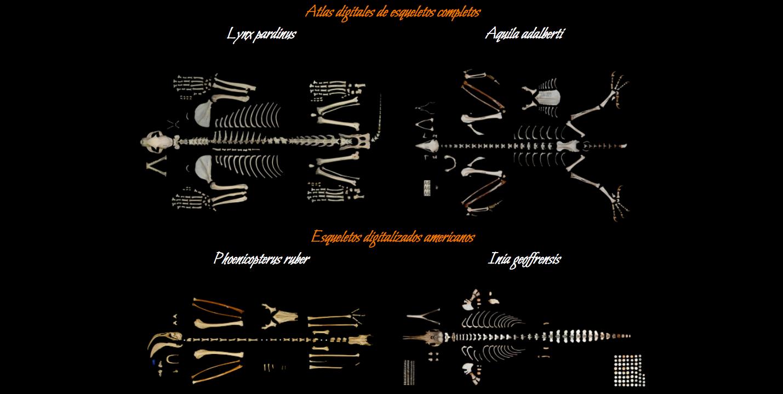 Vista de los 4 esqueletos digitalizados en el proyecto