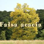 Robinia o la falsa acacia